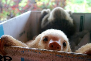baby_sloth